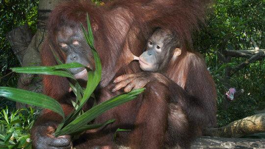 Orangutans Can Nurse for 20 Percent of Their Lives