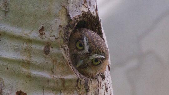 Meet the World's Smallest, Toughest Owl