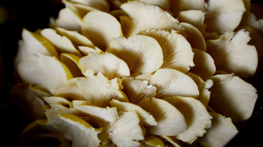 It's Easy to Grow Edible 'Shrooms in Your Kitchen