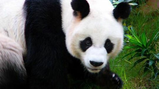 Why is the birth rate so low for giant pandas?