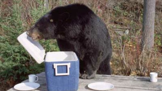 Does panhandling kill black bears?