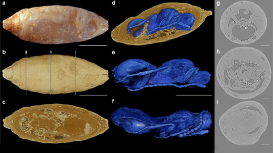New Species of Parasitic Wasps Found Inside Fossilized Fly Cocoons
