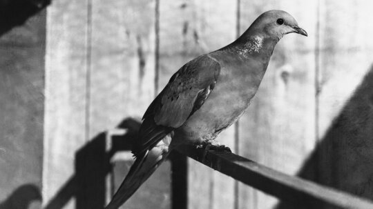How did passenger pigeons become extinct?