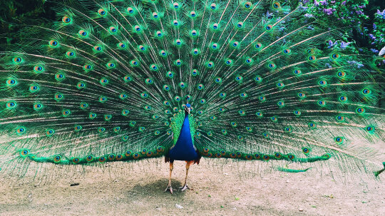If a Peacock Loses His Tail Feathers, Do They Grow Back?