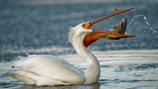 Does a Pelican's Bill Hold More Than Its Belly Can?