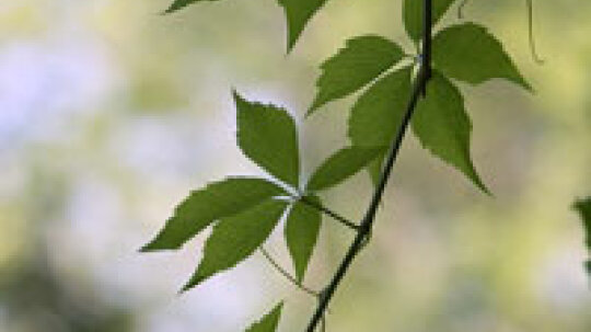 What causes poison ivy?