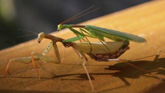 Do female praying mantises decapitate their mates?
