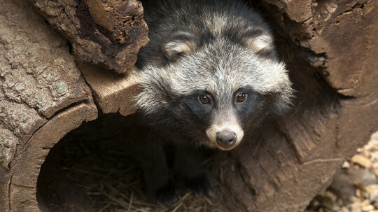 Is It a Dog? A Raccoon? No, It's a Raccoon Dog!