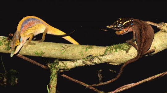 Rainbow Chameleons Display True Colors When Courting