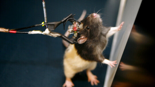 How can studies on rats apply to humans?