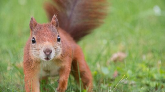 The American Red Squirrel Is Small, Territorial and Aggressive