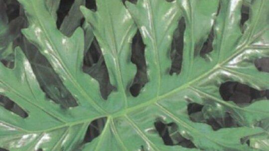 Saddle Leaf Philodendron