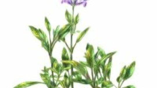 Sage: Herbal Remedies