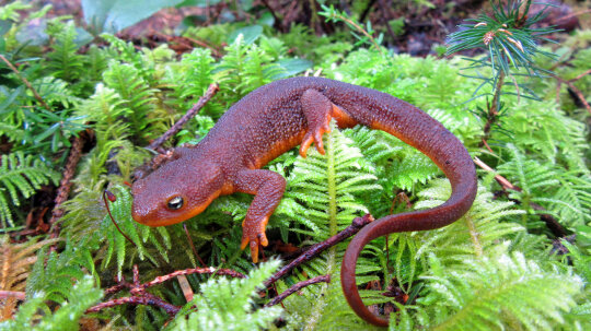 How can salamanders regrow body parts?