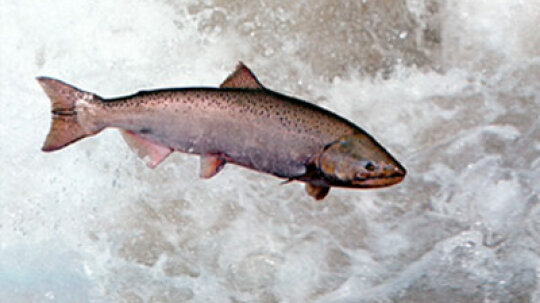 What's depleting salmon populations?