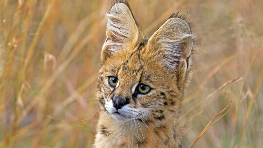 The Serval Stands Tall and Jumps Like A Champion