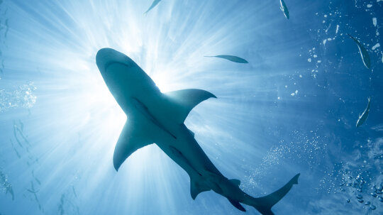 Can wearing magnets really repel sharks?