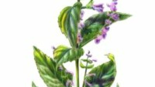 Skullcap: Herbal Remedies