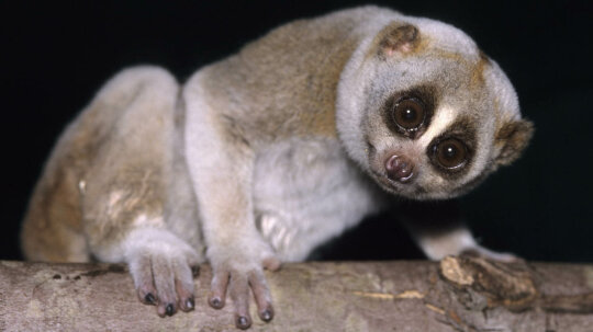 The Slow Loris Is a Cuddly-looking Primate With a Toxic Bite