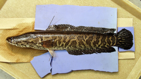 The Predatory Snakehead Fish, or 'Frankenfish,' Can 'Walk' on Dry Land