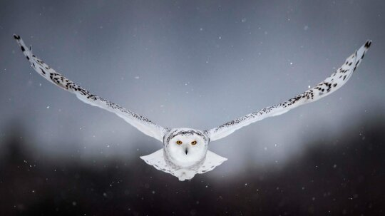 6 Facts About the Majestic Snowy Owl