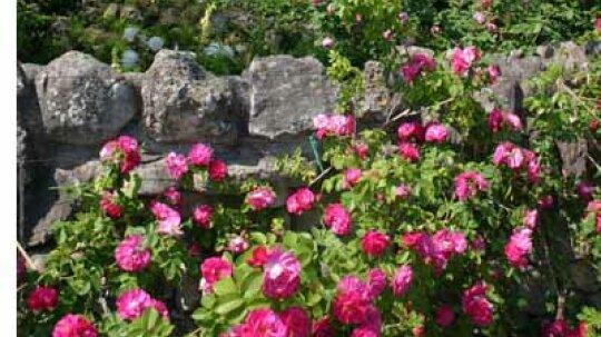 Species Rose