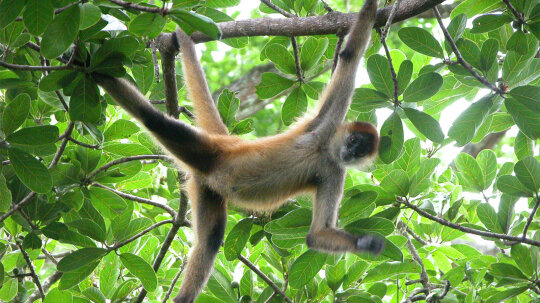 Spider Monkeys Are the Trapeze Artists of the Treetops