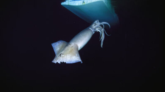 Could a squid take down a submarine?