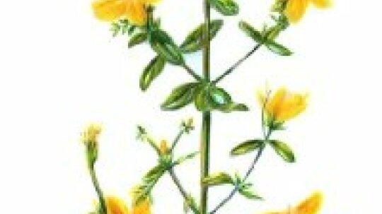 St. John's Wort: Herbal Remedies