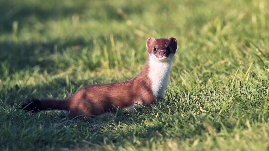 What's the Difference Between a Stoat and a Weasel?