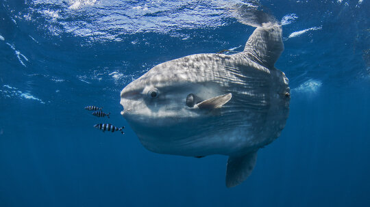 Dive Inside the Weird World of the Ocean Sunfish