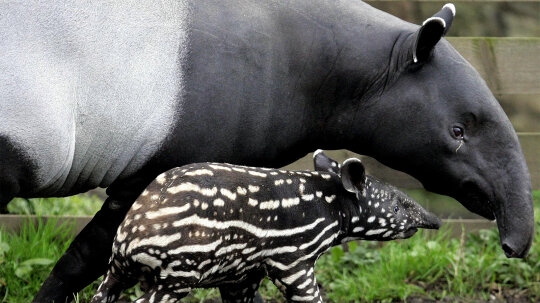 Tapir: The Ancient Fruitarian With the Tiny Trunk