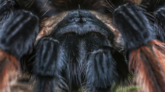 Tarantulas Are Big and Hairy But Not So Scary