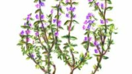 Thyme: Herbal Remedies