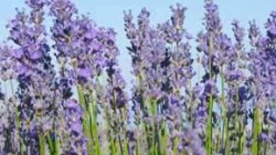 Can lavender plants cause allergies?
