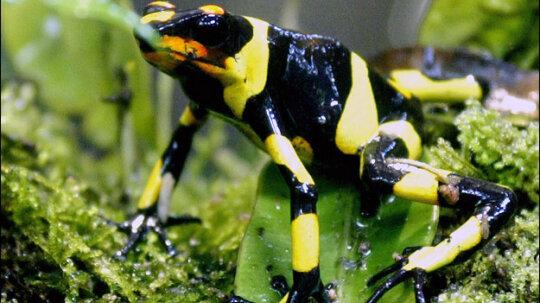 5 Vanishing Frogs