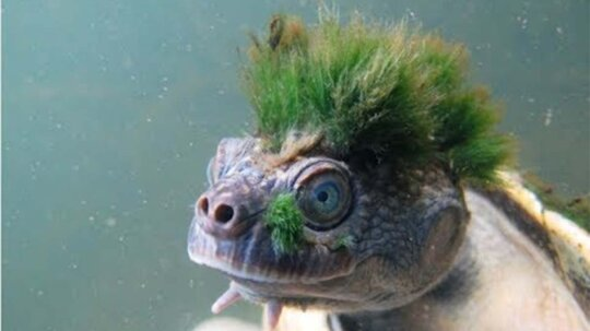 Mary River Turtle Is Last of Ancient Lineage