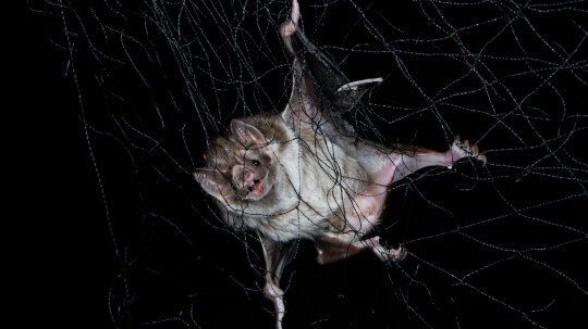 Socially Distancing When Ill Is Natural; Just Look at Vampire Bats