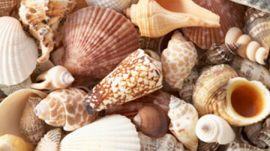 Seashell Walls