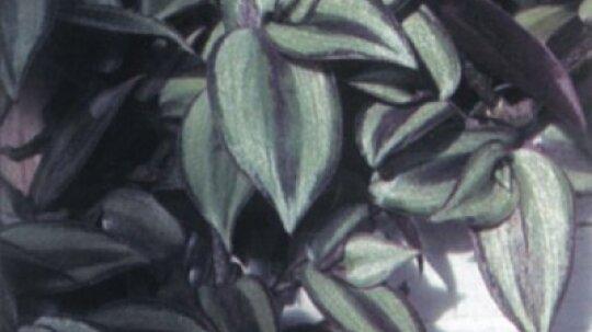 Wandering Jew Plant