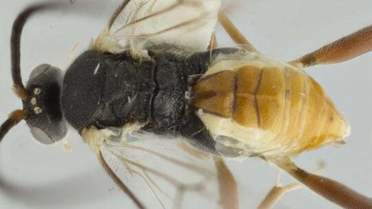 Parasitic Wasp Larvae Eat Host From Inside Out