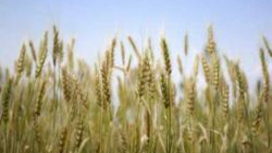 Bulgur: Natural Weight-Loss Food