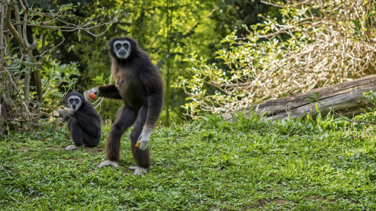 Last Common Ape-Human Ancestor Was Likely the Size of a Gibbon