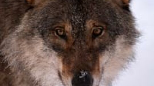 How Wolf Hunting Works