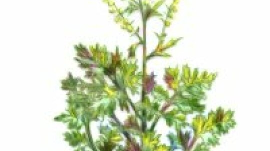 Wormwood: Herbal Remedies