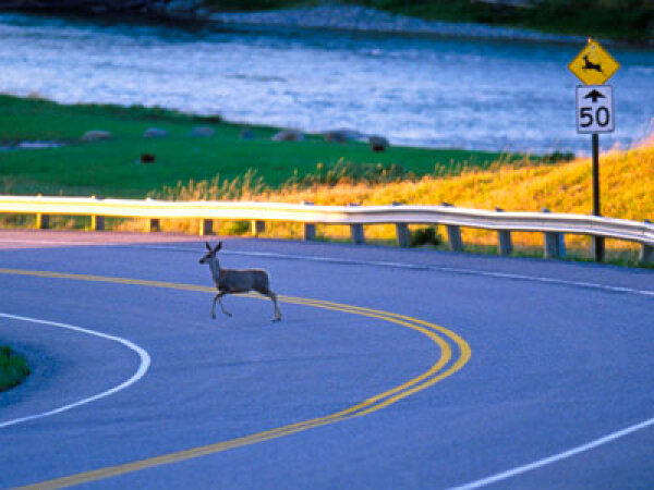 Does deer hunting reduce car accidents?