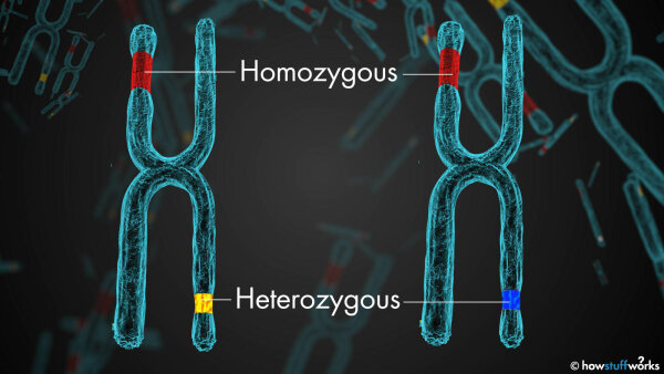 What Does 'Homozygous' Mean?