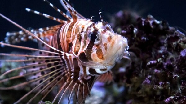 6 Facts About the Lovely, Incredibly Destructive, Lionfish
