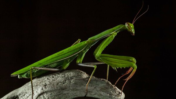 Yes, Female Praying Mantises Do Eat Their Mates