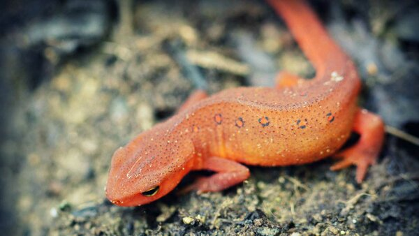 What's the Difference Between a Newt and Salamander?